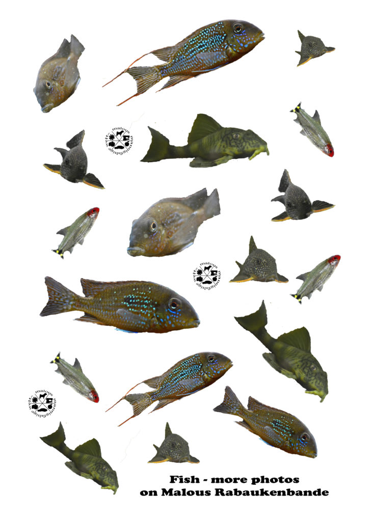 Sticker for free Kostenlos Downloaden Google Maloutainment kreativ Planer Organizer basteln kleben gestalten Aufkleber Fische Wels fishes Südamerika Cichliden Barsch perch cat fish hemigramus L121 Geophagus tank Aquarium