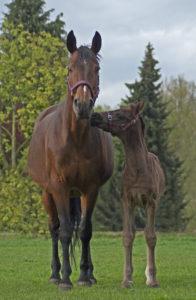 Cloe-Stute-Fohlen-Pferd-Pferde-Fotografie-Hannover-Celle-Maloutainment-Hildesheim-Hamburg-Braunschweig-Tier-Tiere-Tierfotografie-Hobbyfotograf-Günstig-preiswert-Gewinn-