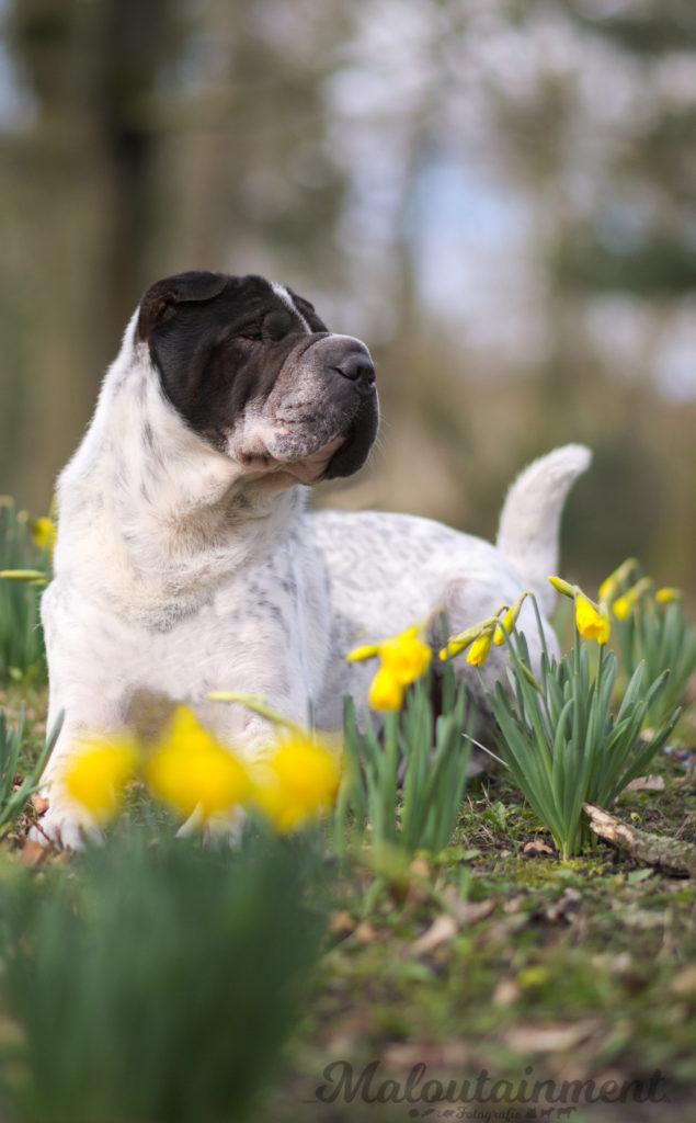 Kingston-Shar-Pei-Hund-Hunde-Hundefotografie-Blog-Tier-Tiere-Bluemen-Frühling-Celle-Winsen-Hannover-Heidekreis-dog-dogs-photography-Maloutainment