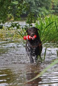 Labrador-Eddie-Wasser-Shooting-Fotografie-Hund-Hunde-Tier-Tiere-Hannover-Celle-Winsen-Heidekreis-Maloutainment-Spielzeug-Katzen-Pferde-Tierfotografie