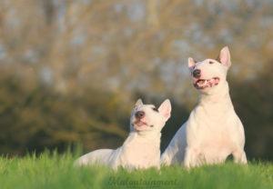 Maloutainment-Fotografie-Hund-Hunde-Pferde-Katze-Hannover-Celle-Verden-Spaziergang-Instagram-Facebook-Bullterrier