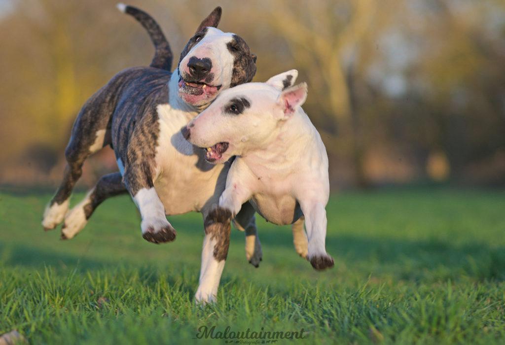 Maloutainment-Fotografie-Hund-Hunde-Pferde-Katze-Hannover-Celle-Verden-Spaziergang-Instagram-Facebook-Bullterrier-Bulli