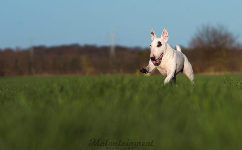 Maloutainment-Fotografie-Hund-Hunde-Pferde-Katze-Hannover-Celle-Verden-Spaziergang-Instagram-Facebook-Bullterrier-Ceni