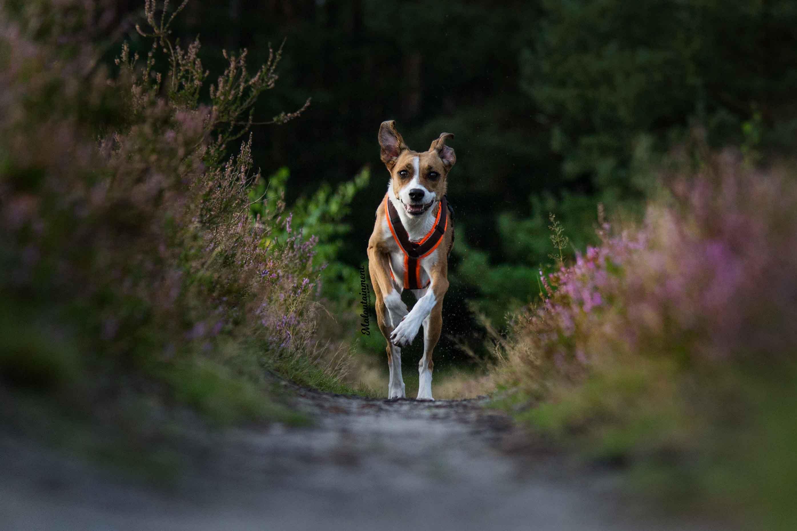 Maloutainment-Mischling-Hund-Fotografie-Huendin-Frau-Freundschaft-Fotografin-Hannover-Celle-Heide-Blumen-Niedersachen-Blog-Hundefotografie-Charakter-einzelshooting