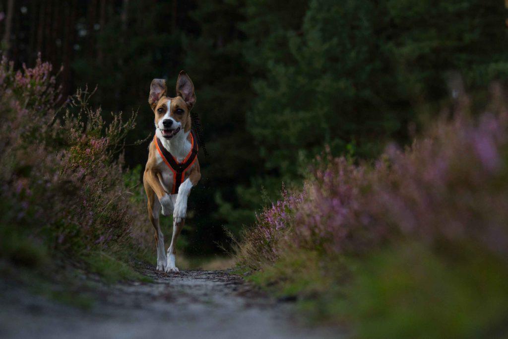 Rennender Hund durch die Lüneburger Heide