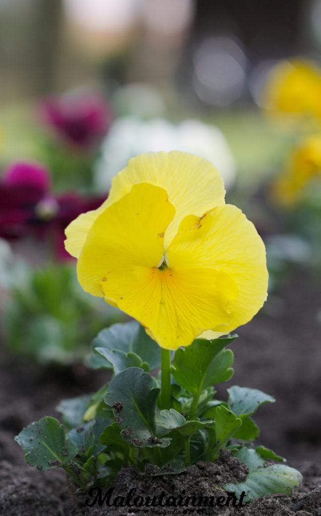 Stiefmütterchen-Hannover-Celle-fotografie-Tiefenschärfe-Kreise-Blume-Bokeh-Unschärfe-Spiel-bildaufbau-heidekreis-Tierfotografie-Blüte-gelb-Maloutainment