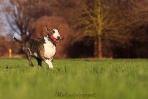 Tierfotografie-Hannover-Celle-Hundefotografie-Hund-Bullterrier-Unkas-Tiefenschärfe-Gruppenshooting-Spielzeug-Bokeh-Unschärfe-Spiel-bildaufbau-laufen-Maloutainment
