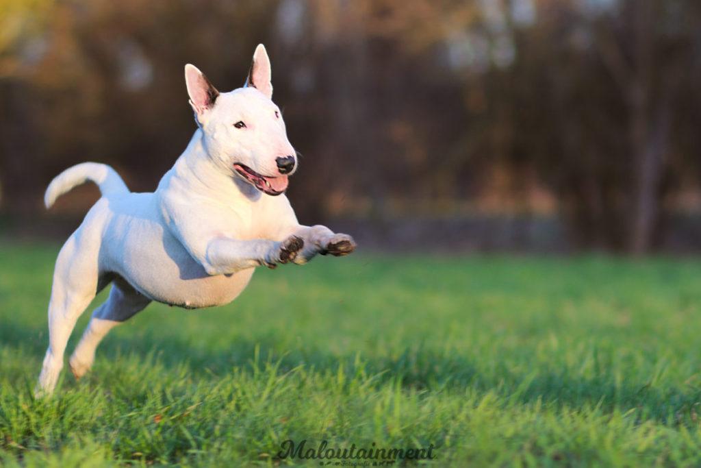 cropped-Bullterrier-Hunde-Hund-Hundefotografie-Tierfotografie-Hannover-Celle-Winsen-springen-Katzen-Pferde-Tiere-Maloutainment