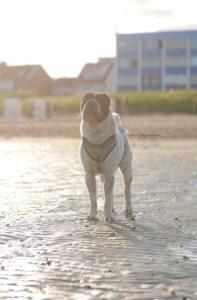 maloutainment-hund-dog-shar-pei-strand-nordsee-meer-watt-cuxhaven-niedersachen-tipp-Fotografie-Fotografin-Urlaub-Besuch-Erinnerung-Gefühle-Weite-gegenlicht