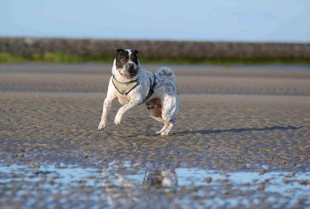 maloutainment-hund-dog-shar-pei-strand-nordsee-meer-watt-cuxhaven-niedersachen-tipp-Fotografie-Fotografin-Urlaub-Besuch-Erinnerung-Gefühle-Weite-tanz
