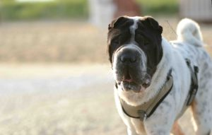 Portrait-maloutainment-hund-dog-shar-pei-strand-nordsee-meer-watt-cuxhaven-niedersachen-tipp-Fotografie-Fotografin-Urlaub-Besuch-Erinnerung-Gefühle-Weite-bewegung