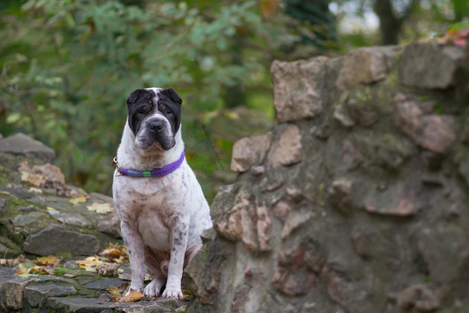 Kingston Mauern Schloss Maloutainment Fotografie Handy Kamera Tier Hund Hunde Blog Shar Pei Porträt Tipps bessere Fotos Verbesserung Qualität Shooting