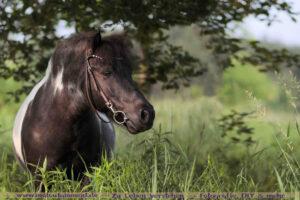 Shettland Pony Portrait - Copyright wertblicke.de