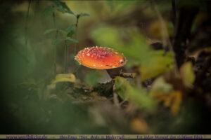 Herbst Bilder Pilze fotografieren Fotos Anfaenger Fortgeschrittene Tipps-Fliegenpilze-Maloutainment Wertblicke Fotografie DIY Rezepte Blog