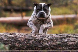 Hund/Shar Pei springt über Baumstamm