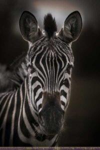 Porträt eines Zebras