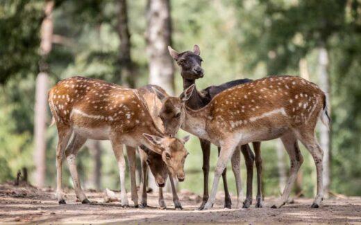 Rehe im sommerlichen Tierpark