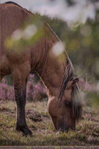 Dülmener Wildpferd grast in der Lünerburger Heide