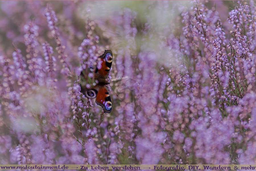 Schmetterling in der Heide