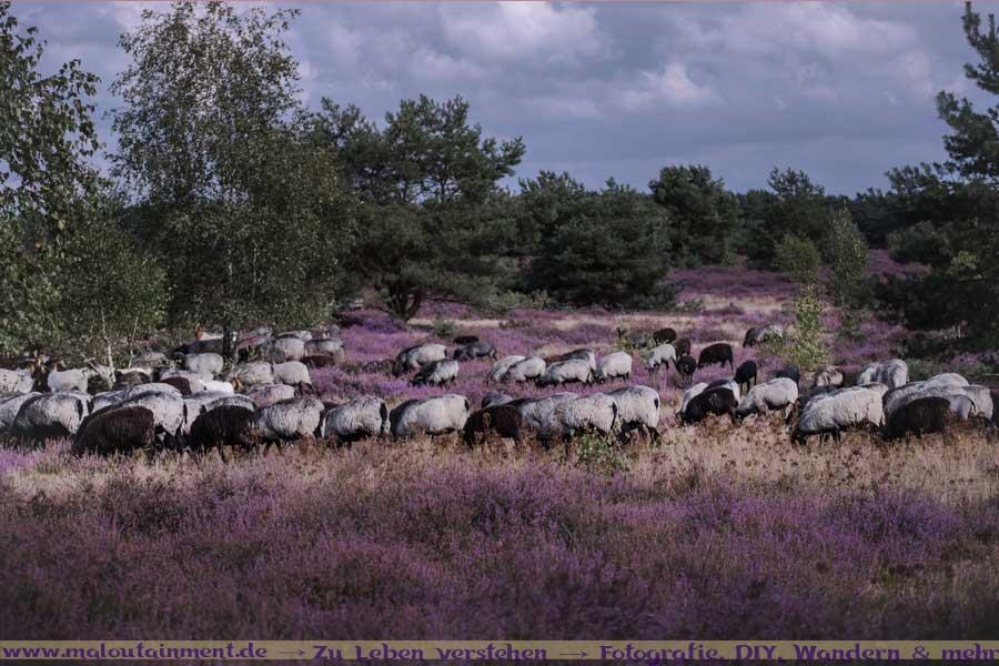 Heidschnuckenherde in der Lüneburger Heide