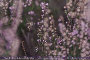 Biene in der Heide
