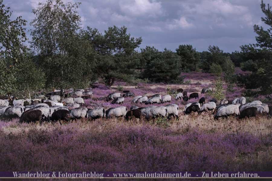 Heidschnucken in der Lüneburger Heide