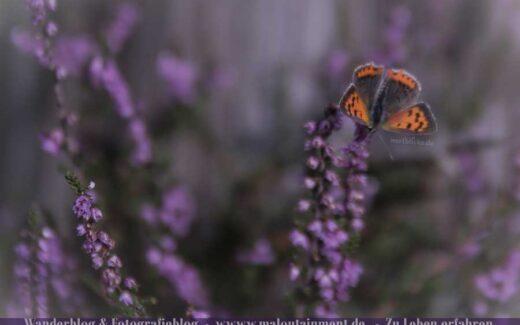 Orangener Schmetterling in der Heide