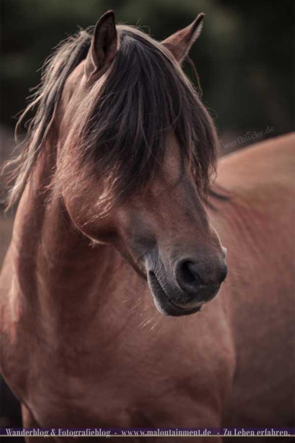 Portrait von Wildpferd