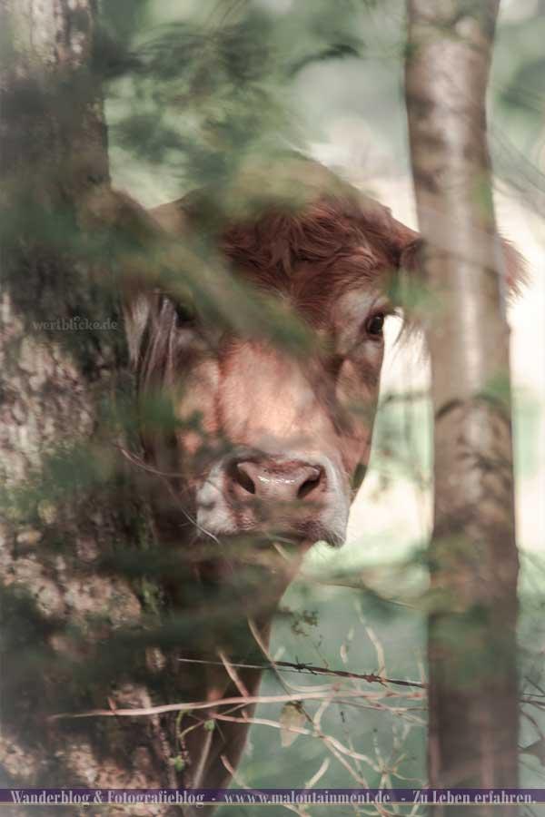 Porträt einer Kuh
