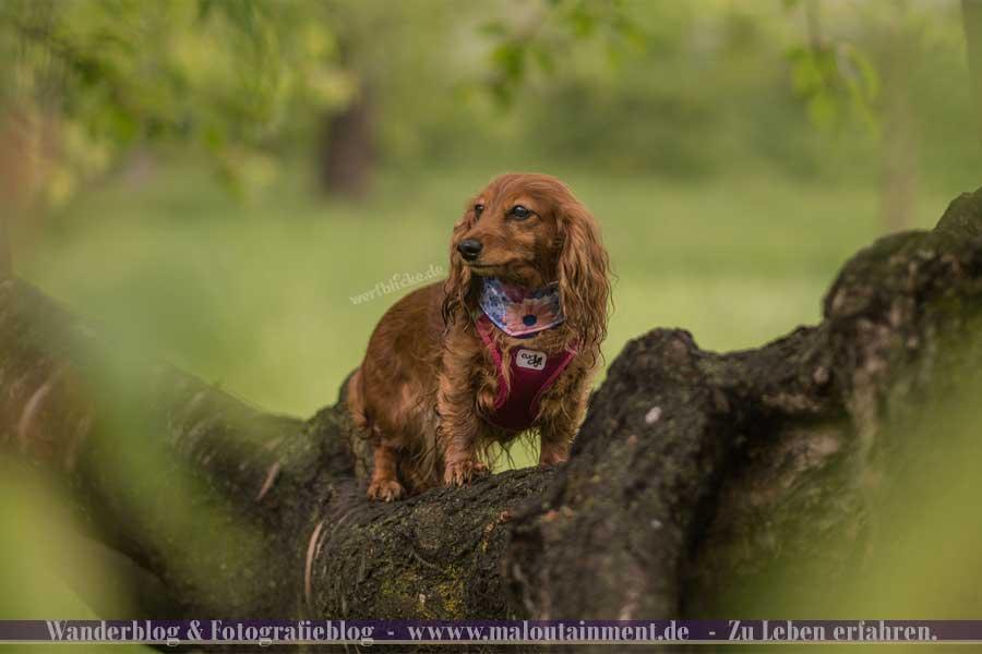 Portrait von Dackel auf Baum
