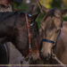 Anfaenger Tipps Pferde Bilder Trick Augehoehe-Pony Duo-Wertblicke Maloutainment Fotografie Pferd Hund Auto Motorrad Portraet DIY Rezepte